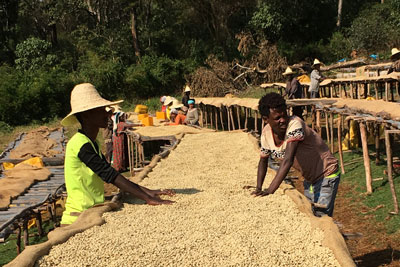 Coffee-plantation-beans-ethiopia-adventuresinethiopia