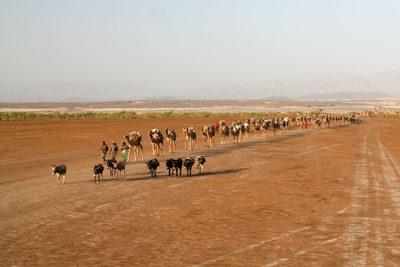 Danakil-depression-caravan-camel-donkey-ethiopia-adventuresinethiopia