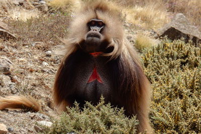 Galeda-baboon-simien-mountains-treking-rasdashn-ethiopia-adventuresinethiopia