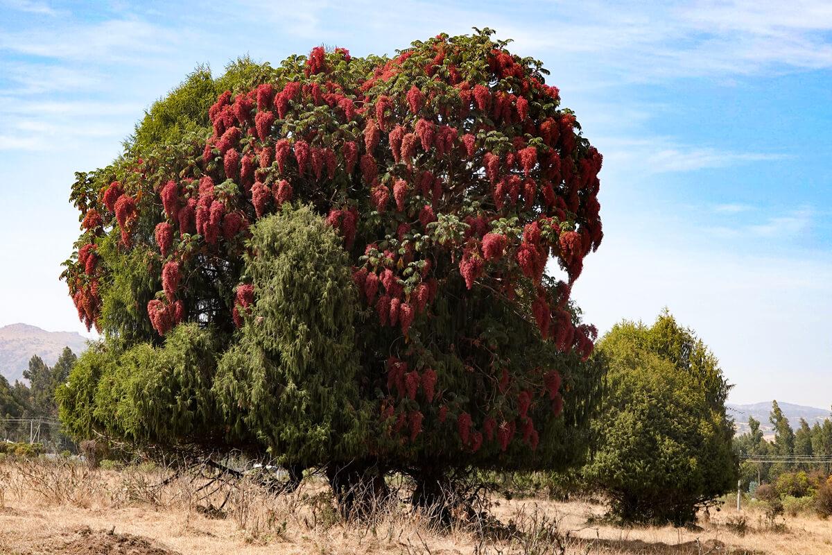 Hagenia-abyssinica-medical-plant-bale-mountains-dinsho-ethiopia-adventuresinethiopia