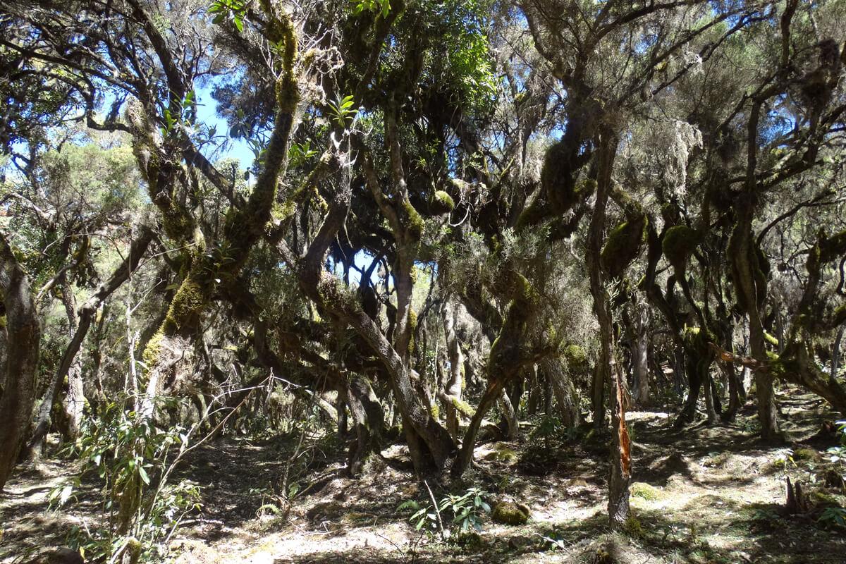 Harenna-forest-bale-mountains-national-park-juiperus-ethiopanm-adventuresinethiopia-moses