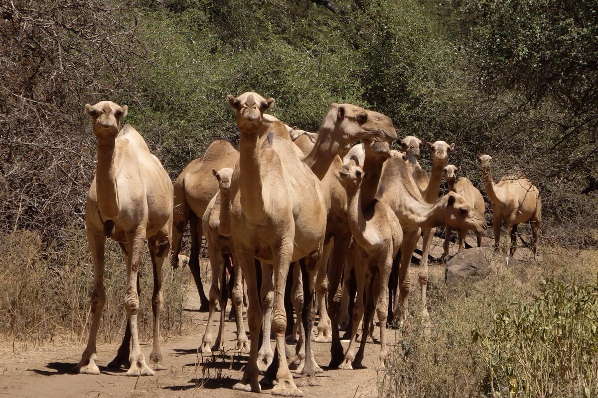 Sof-Omar-caves-camels-muslim-ethiopia-adventuresinethiopia