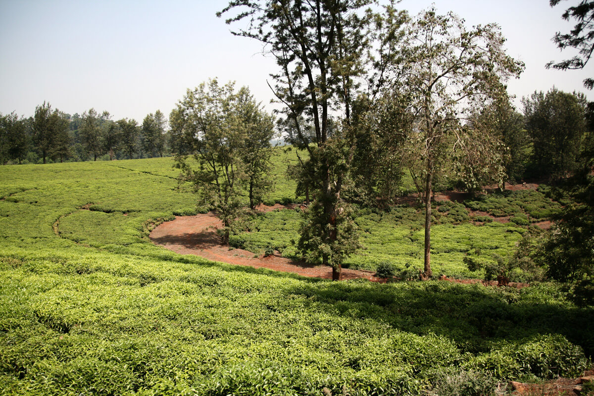 addis-tee-platation-camelia-ethiopia-adventuresinethiopia