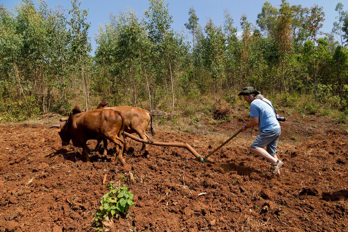 agriculture-jimma-cav-plow-tourist-clay-soil-eucaliptus-ethiopia-adventuresinethiopia