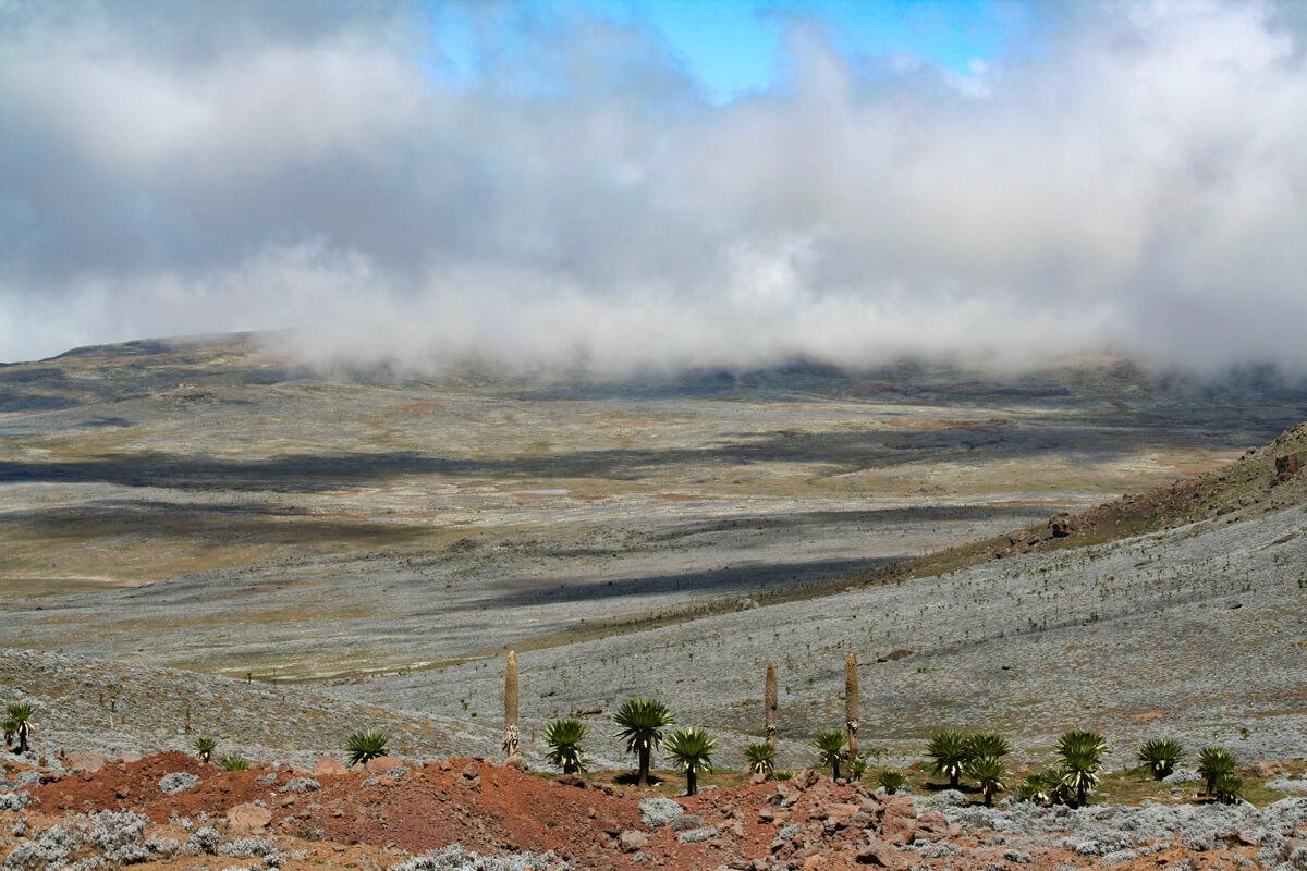 bale-mountains-ethiopia-gigant-lobelia-adventuresinethiopia