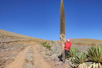 bale-mountains-tulu-dimtu-giant-lobelia-saneti-plateu-ethiopia-adventuresinethiopia
