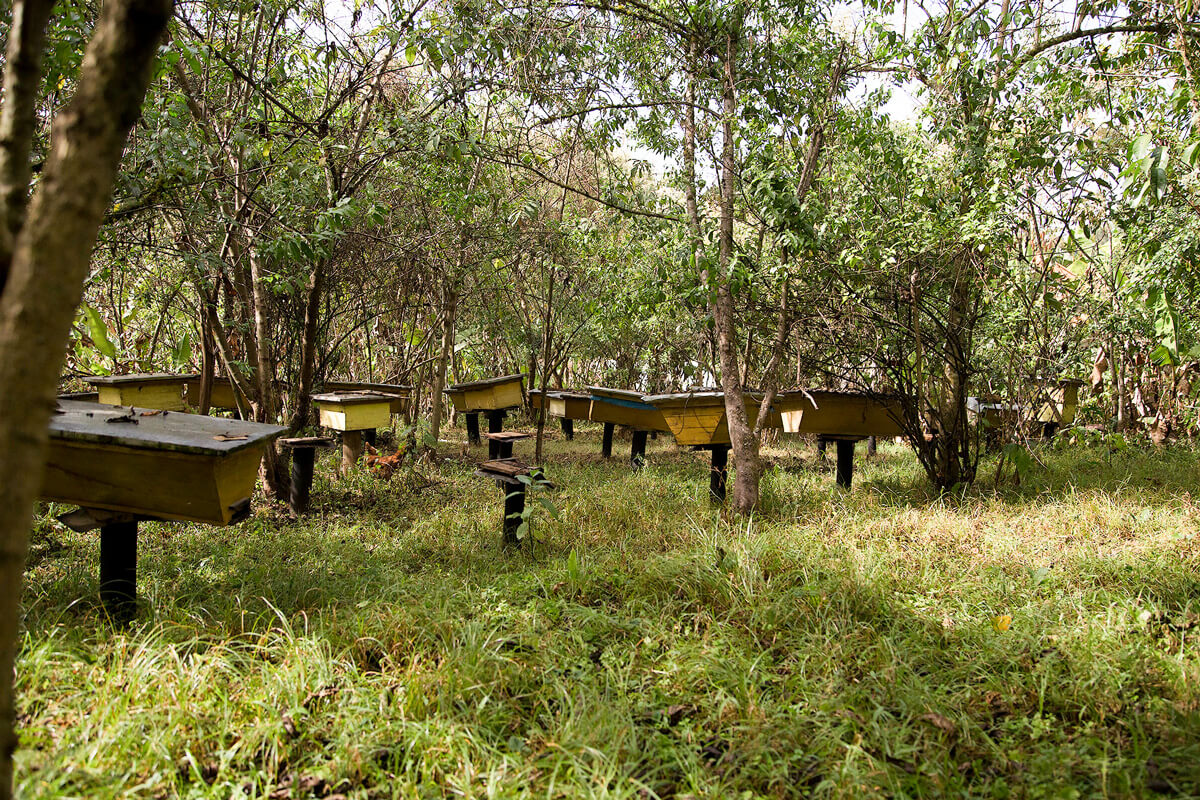 bonga-rain-forest-bees-ethiopia-adventuresinethiopia