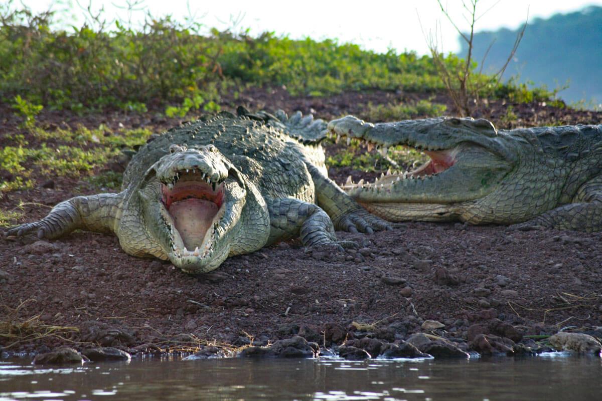 crocodile-chamo-lake-boat-tribe-ethiopia-adventuresinethiopia