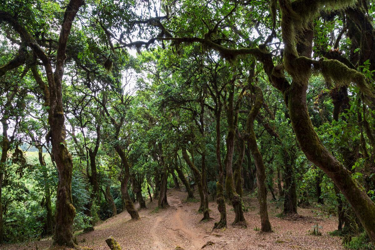 dorze-treking-mountains-old-trees-path-ethiopia-adventuresinethiopia-
