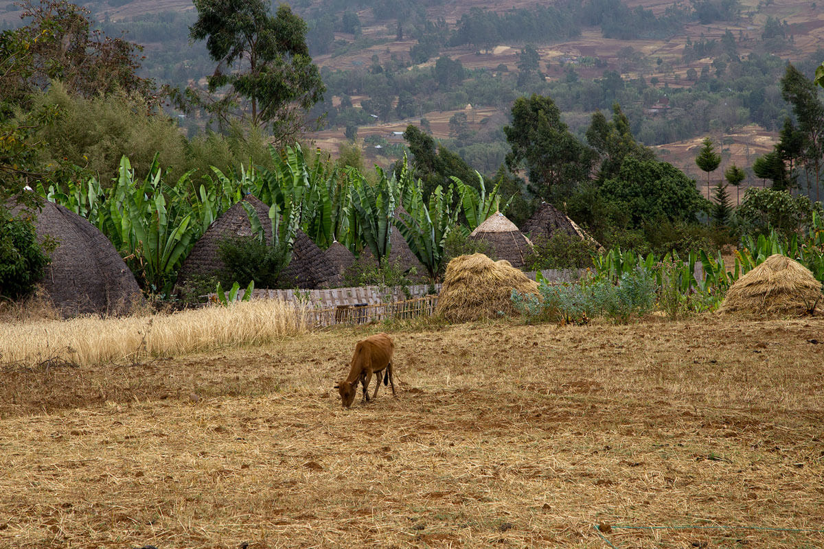 dorze-village-falsh-banana-musa-elephant-houses-fields-ethiopia-adventuresinethiopia