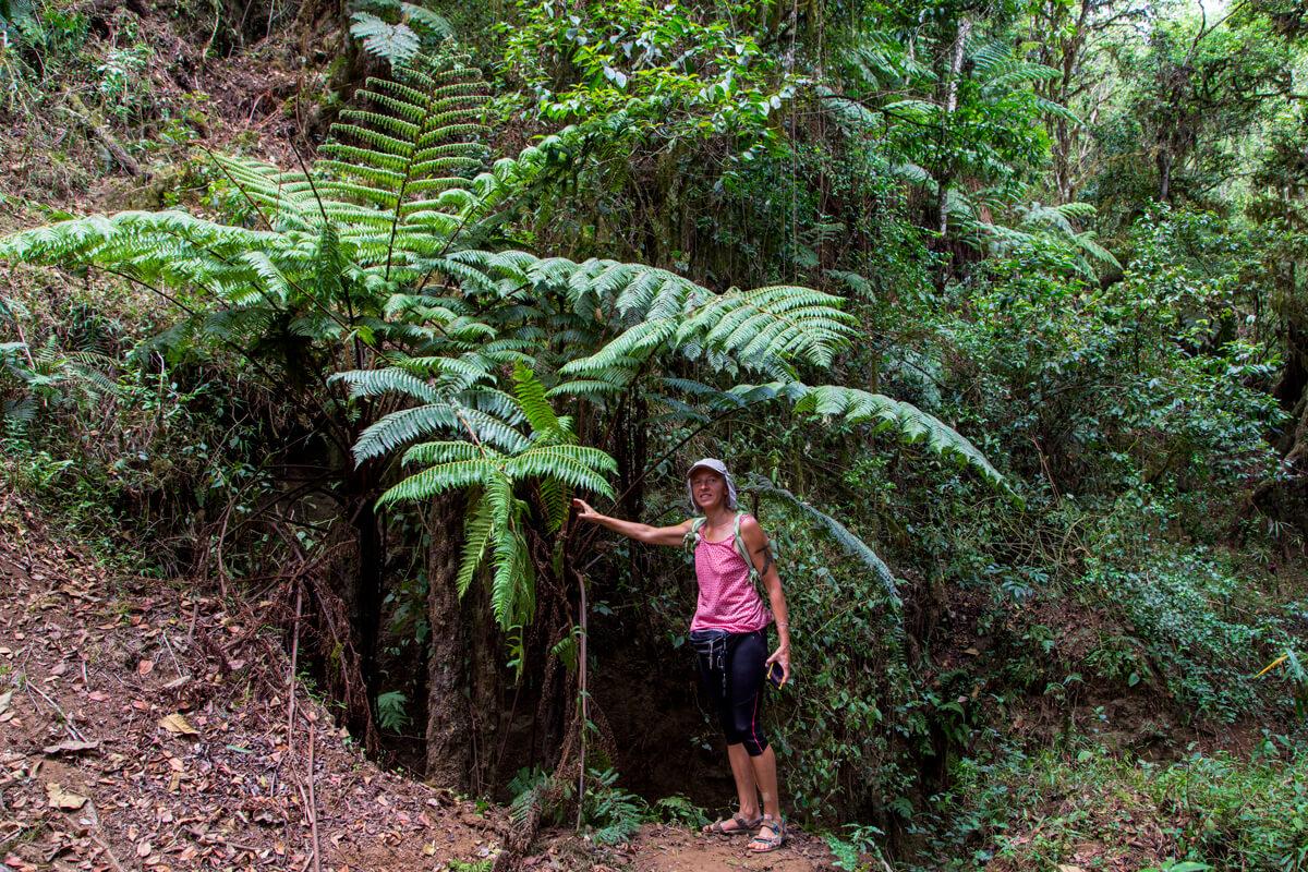 fern-tree-big-treking-dorze-mountains-ethiopia-adventuresinethiopia