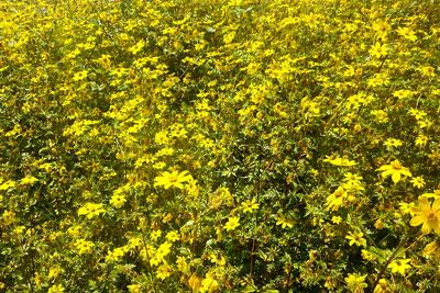 meskel-flowers-holidays-ethiopia-adventureinethiopia-travel-together-addis-ababa