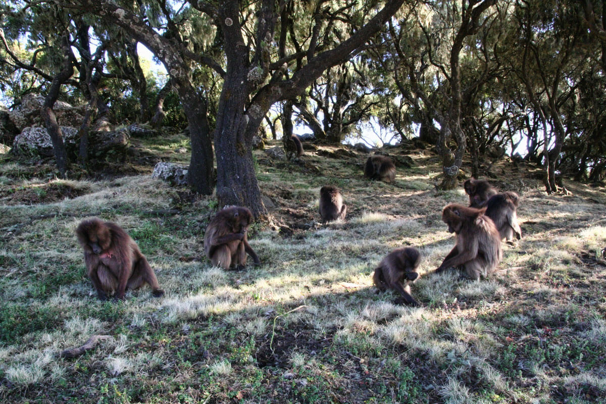simien-mountain-national-park-treking-galeda-baboon-ethiopia-adventuresinethiopia
