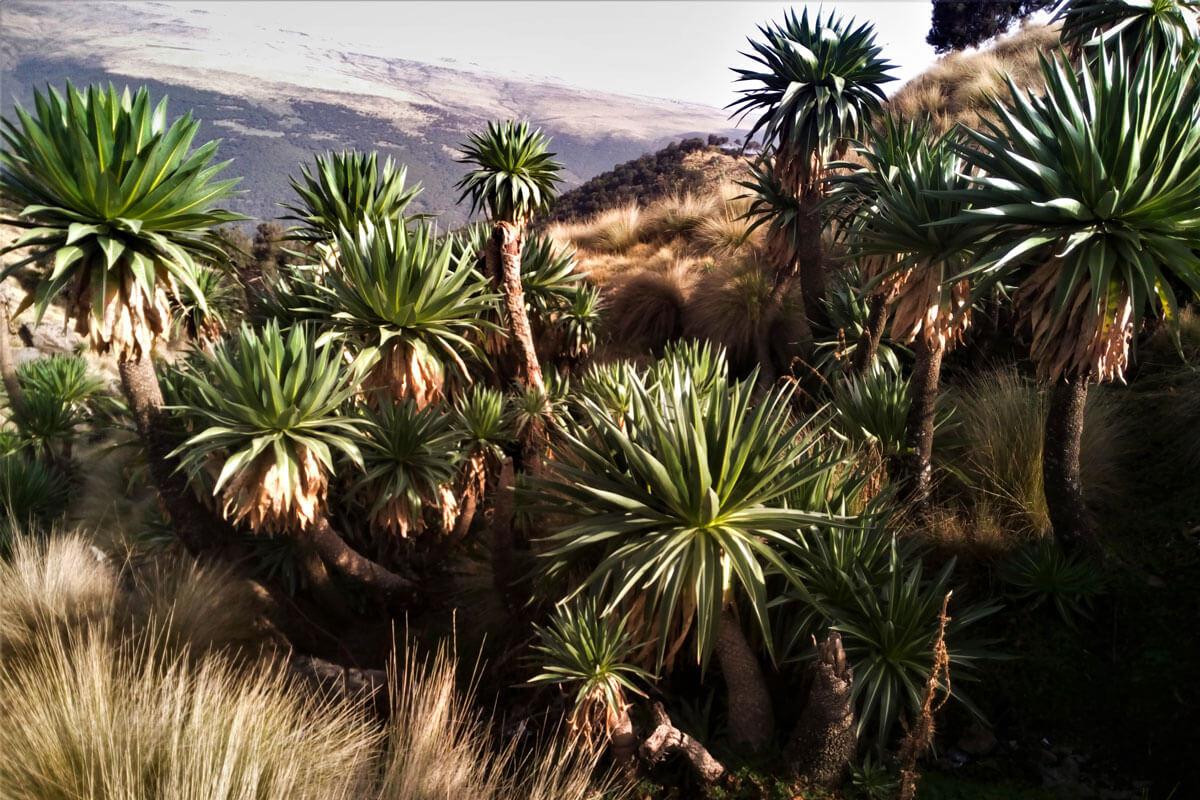 simien-mountain-national-park-treking-lobelia-campsite-ethiopia-adventuresinethiopia