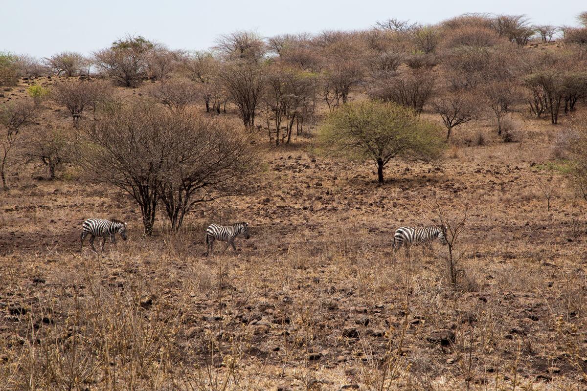 zebra-landscape-meadow-arbaminch-nechisar-national-park-ethiopia-adventuresinethiopia