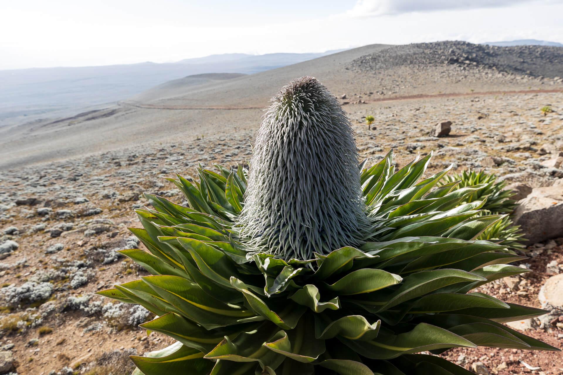 Giant lobelia Ethiopia_