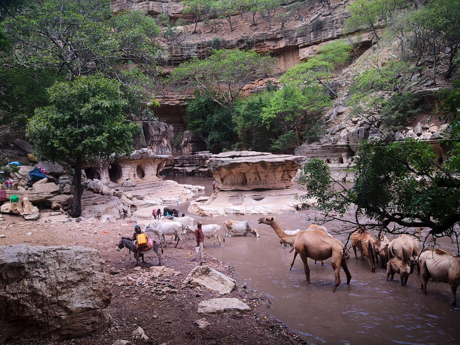 Sof Omar Ethiopa camels